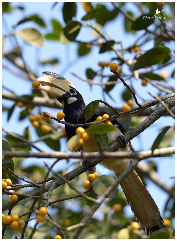 Malabar-Pied-Hornbill-dandeli